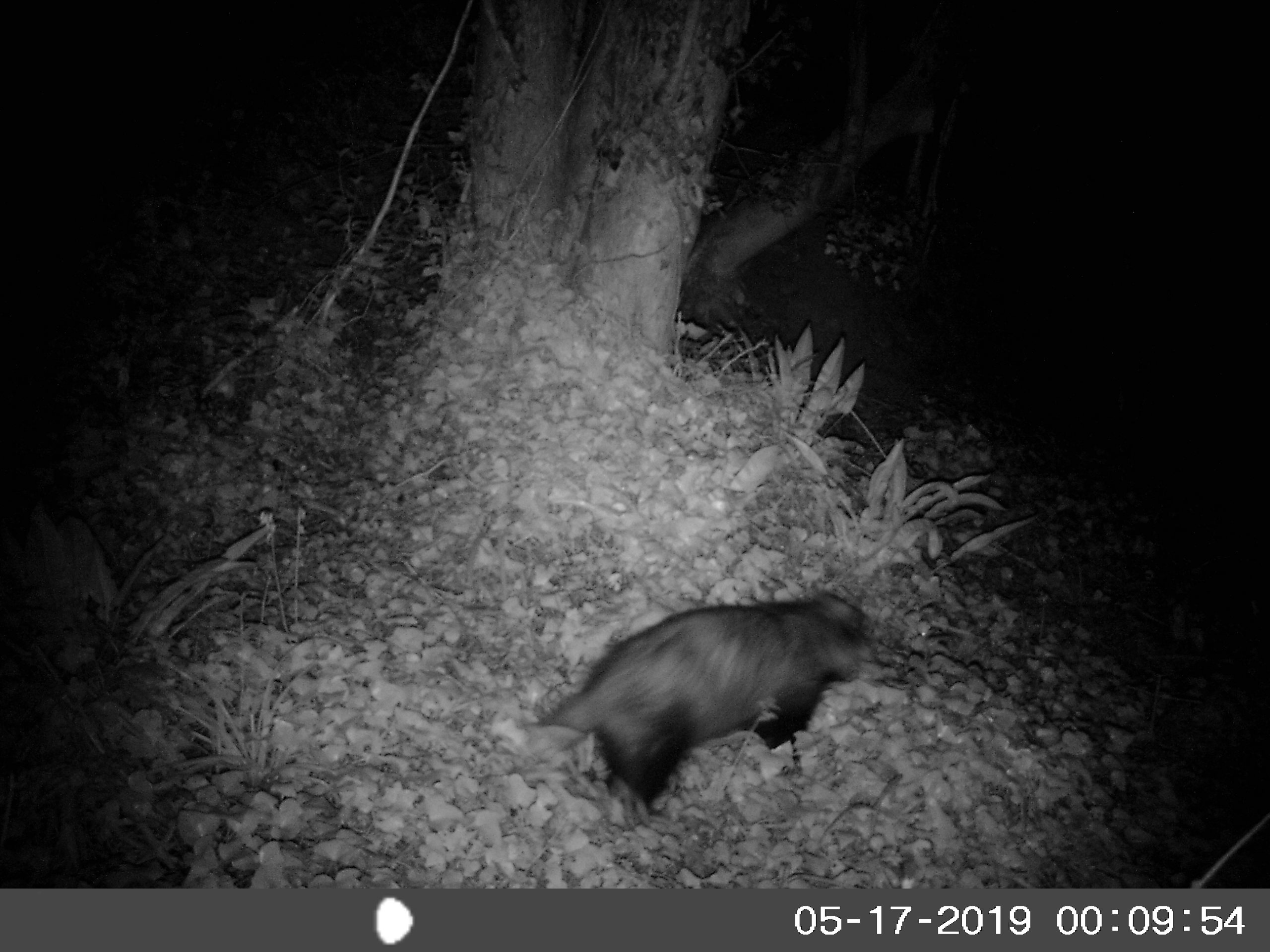 A badger, photographed by IR camera just after midnight