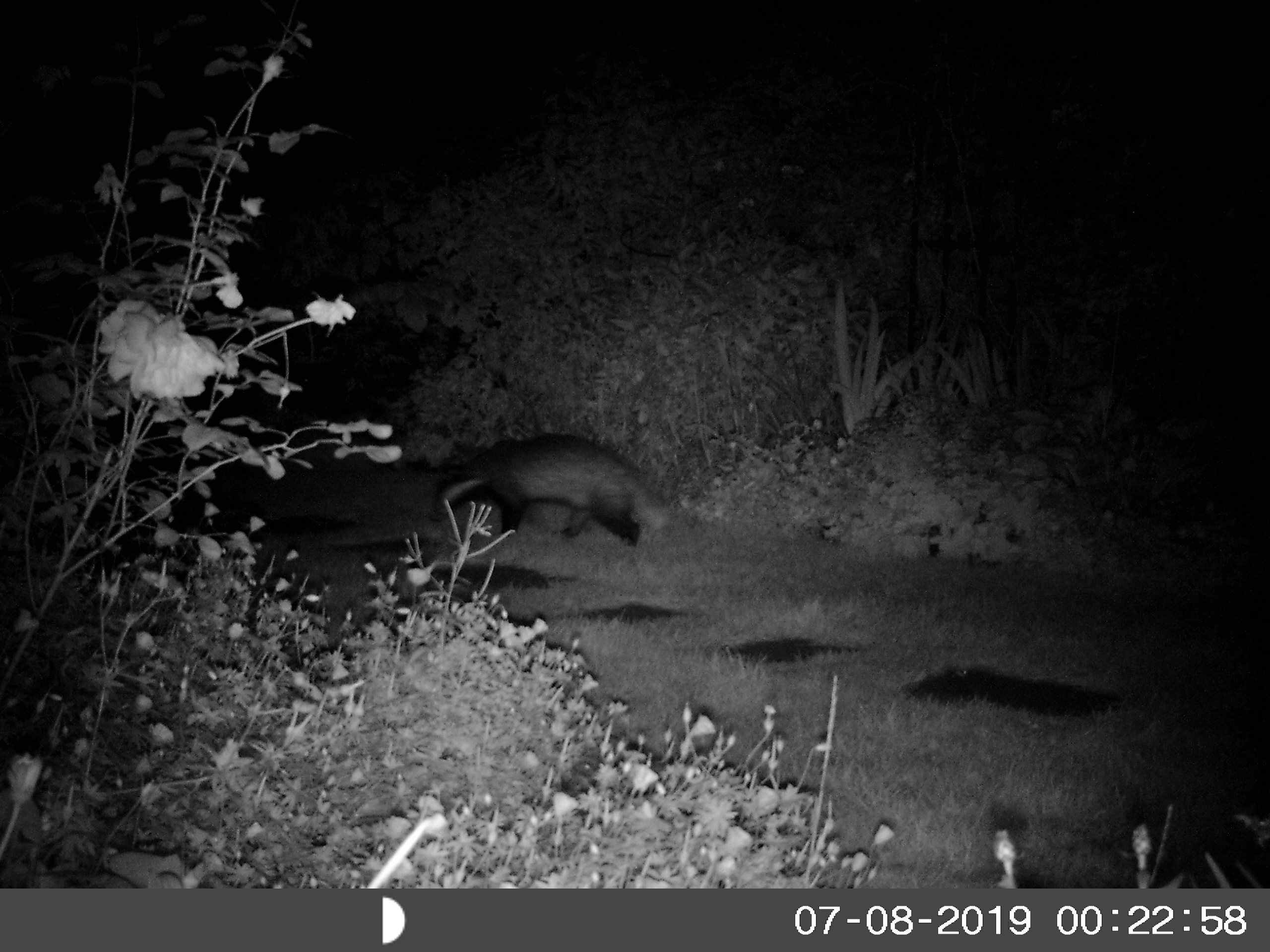 A badger, photographed by IR camera around 20 past midnight