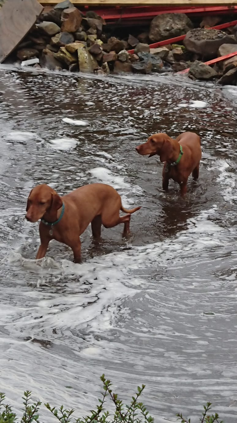 Two dogs, both Hungarian Vizslas, knee deep in water