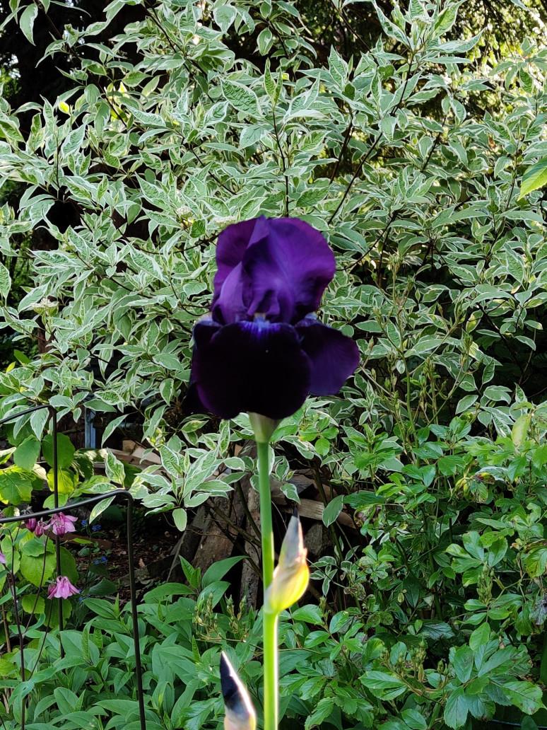 A single purple iris, framed against a pale green bush.